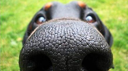 dog-nose-rottweiler-960x540