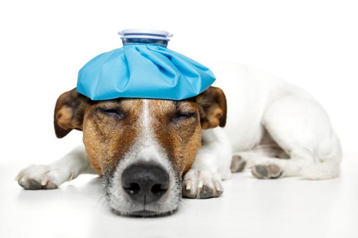 dog-pain