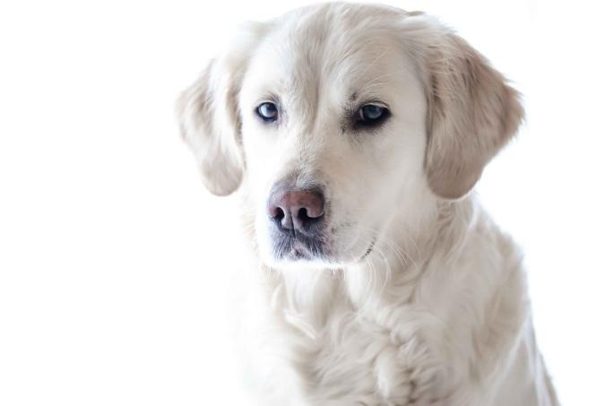 golden-pup